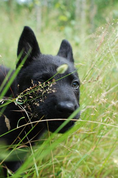 Qaxi i högt gräs